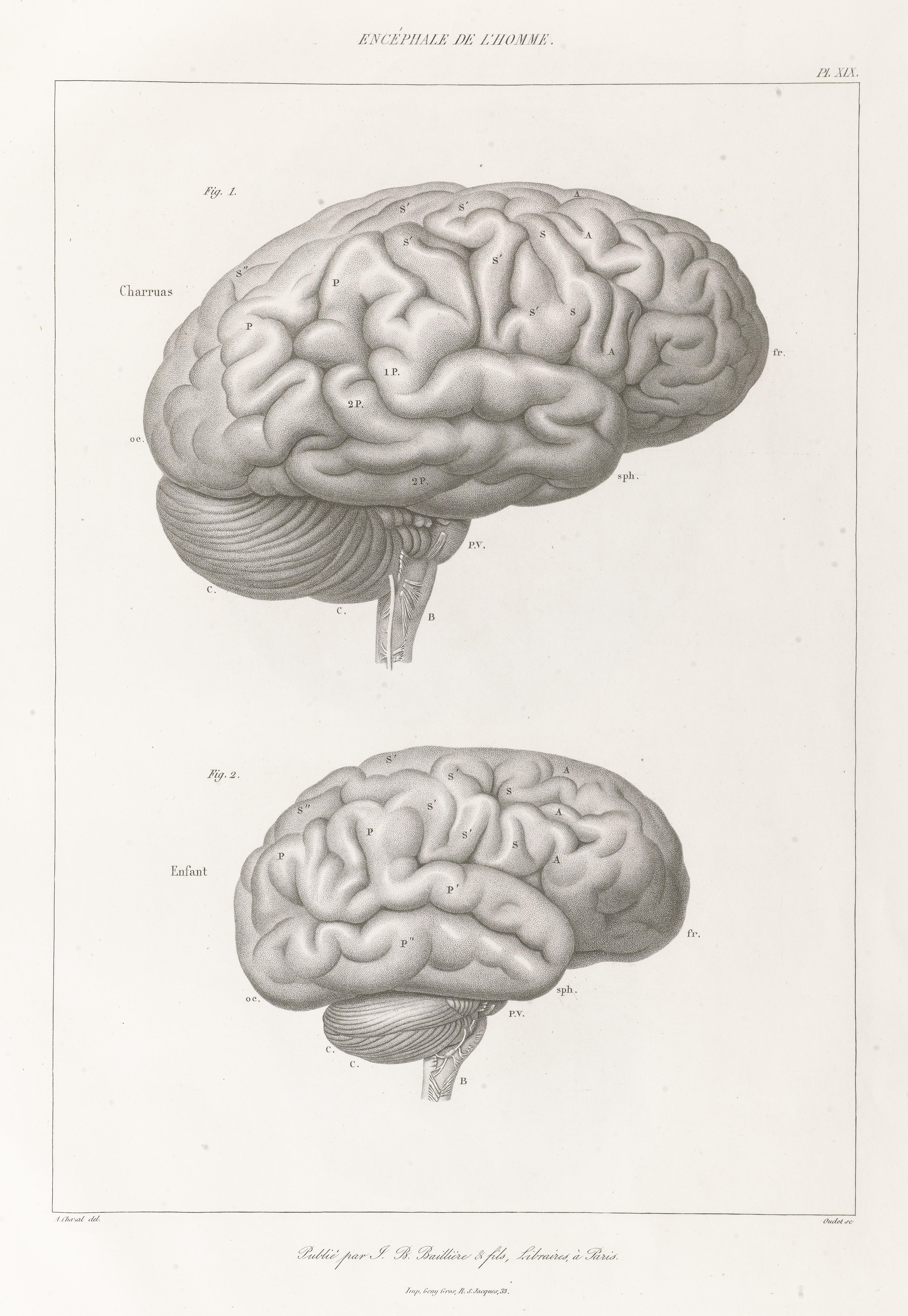 File:Anatomie comparée du système nerveux Wellcome L0068447.jpg ...