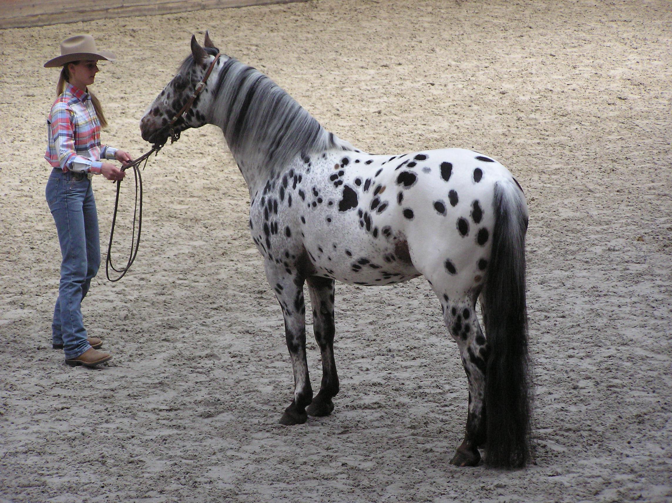 file appaloosa stallion jpg wikimedia commons