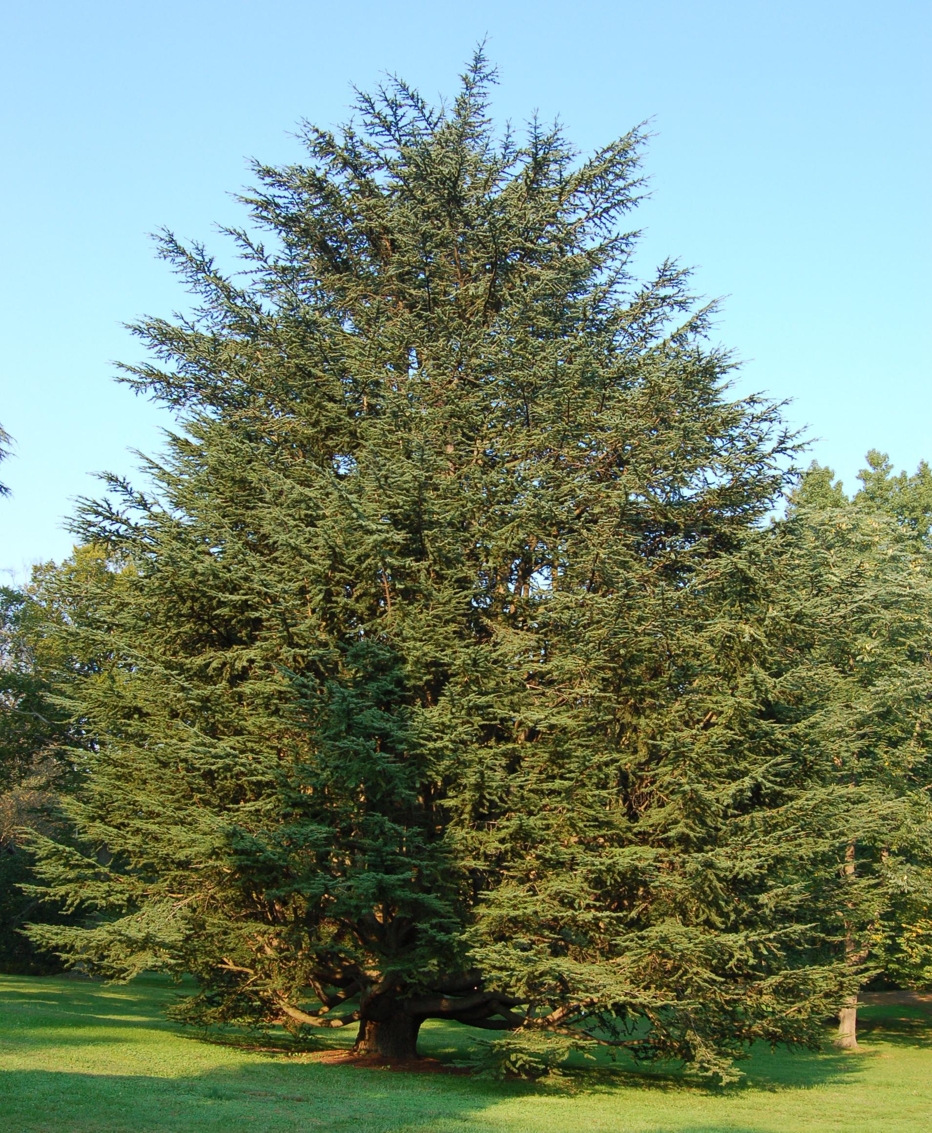 Cedar Tree Images - Reverse Search