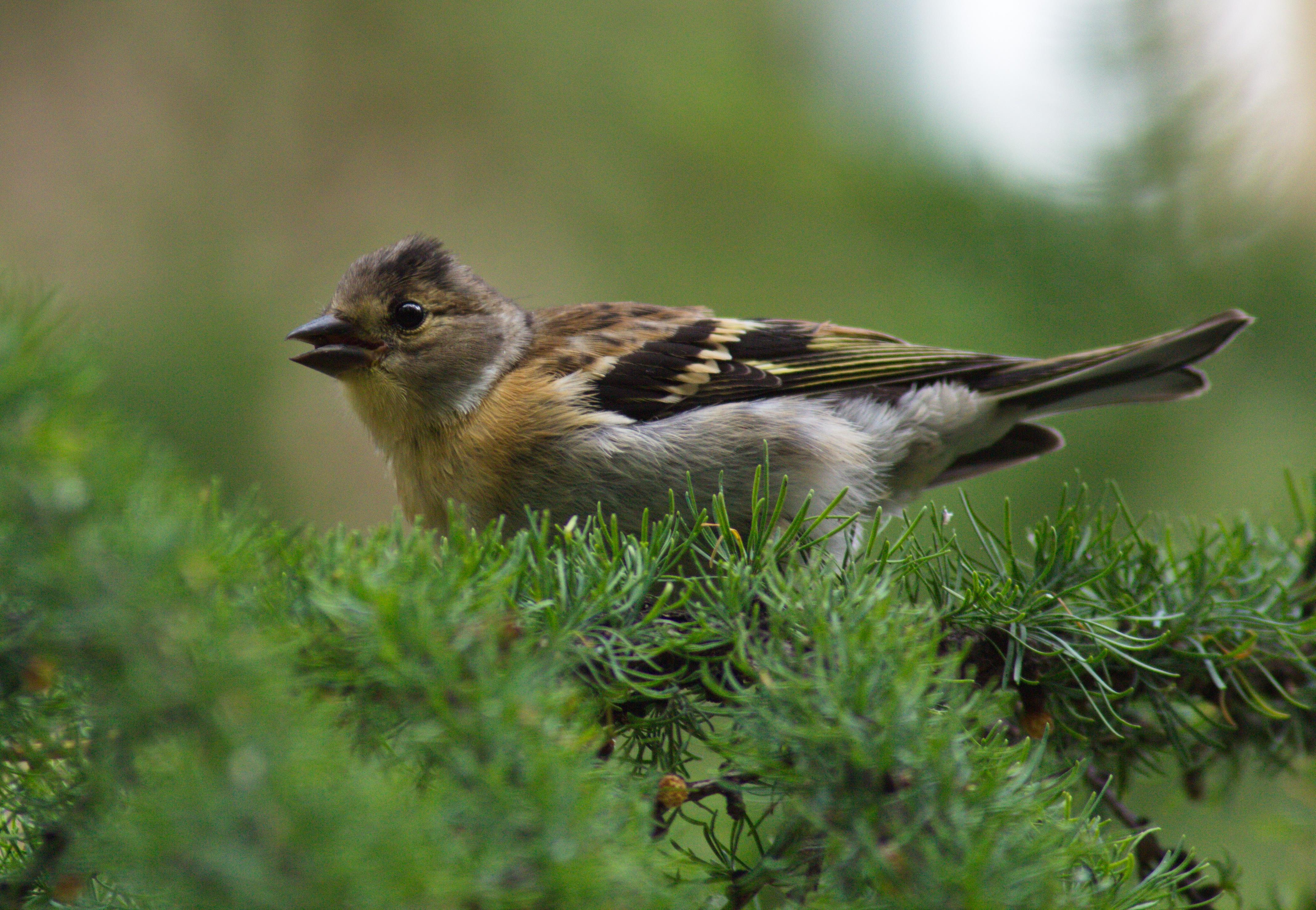 птицы кольского полуострова бы