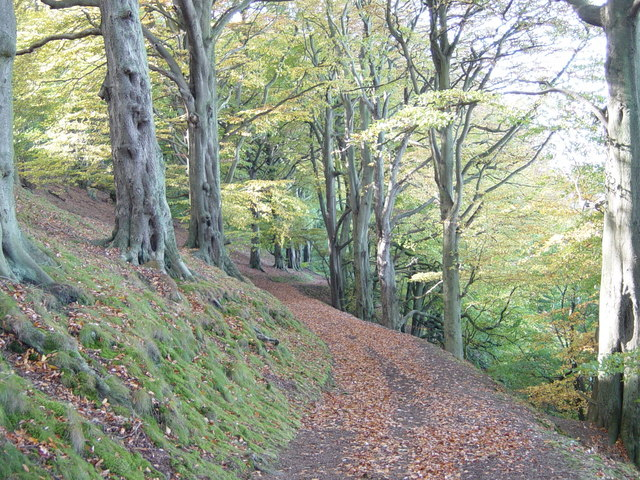 Beech Avenue on North side of Wrekin - geograph.org.uk - 161832