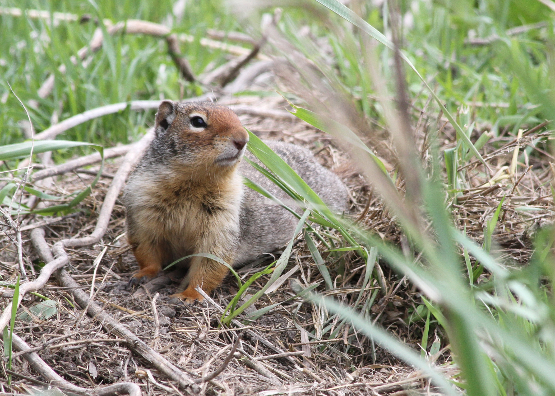 Oregon Ground Squirrel Natural Removal