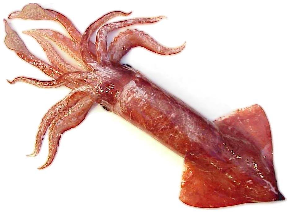 В кальмарах найдена устойчивая к антибиотикам бактерия