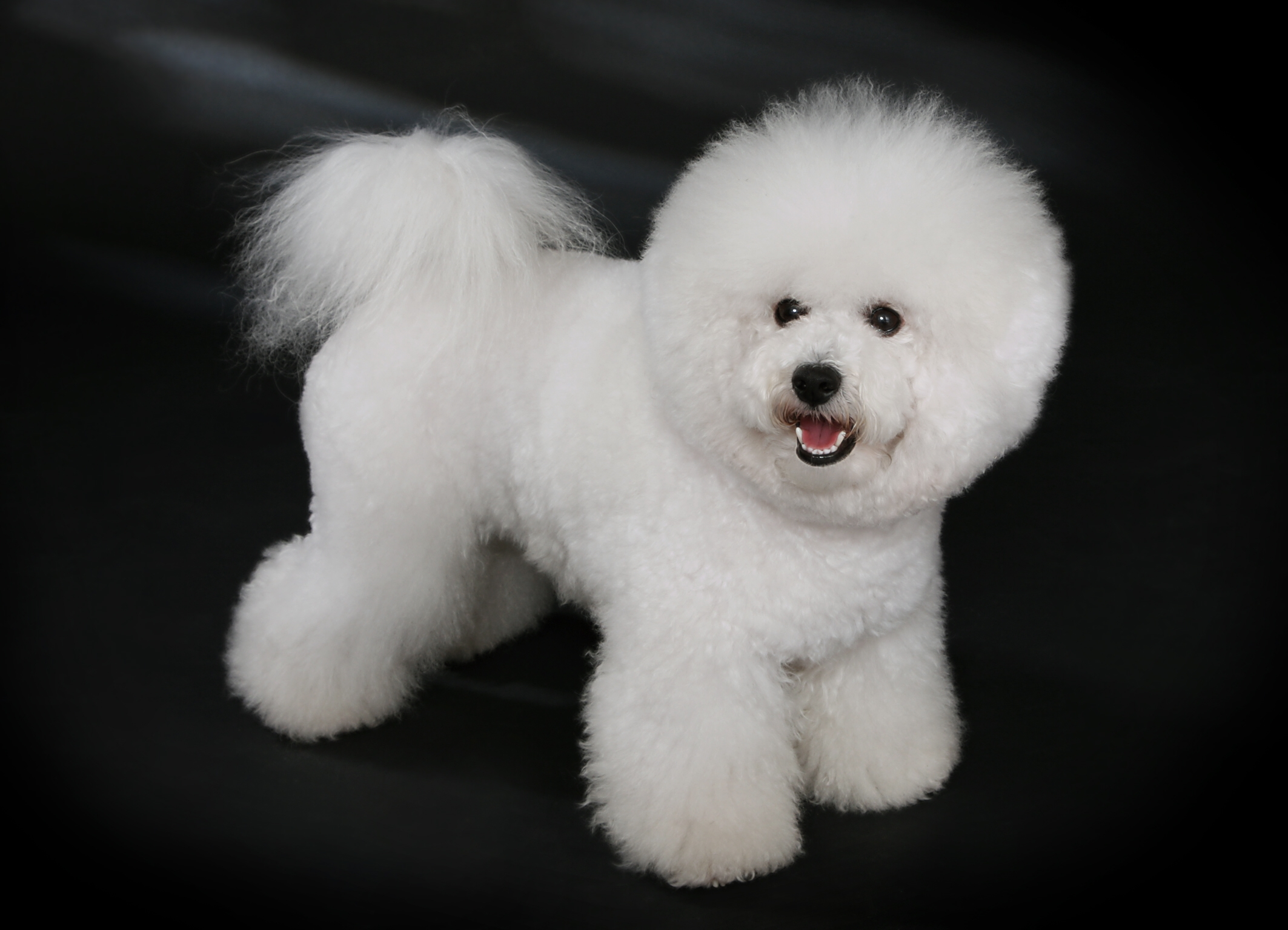 Small Dogs Bichon Frise