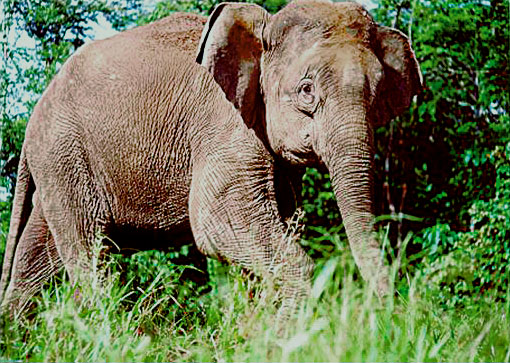 File:Borneo-elephant-PLoS Biology jpg - Wikimedia Commons