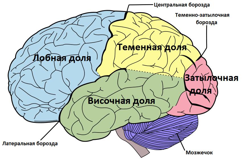 File:Brain diagram ru.png - Wikimedia Commons