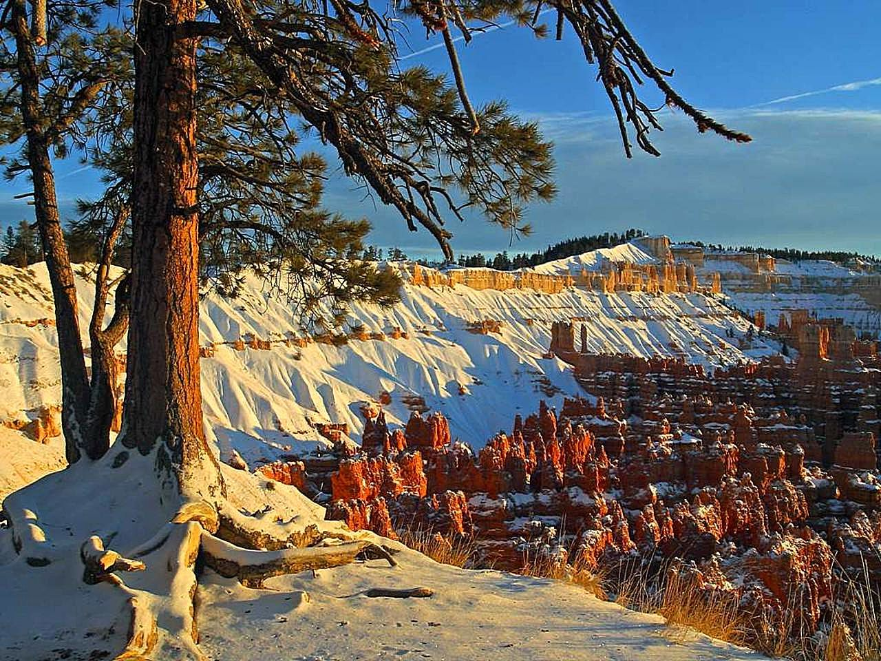 File brcye canyon winter snow pine trees - Images of pine trees in snow ...