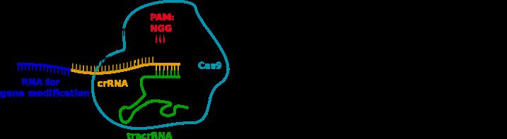 File:CRISPR-Cas9 mode of action.png