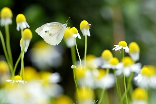 Файл:Cabbage butterfly.jpg