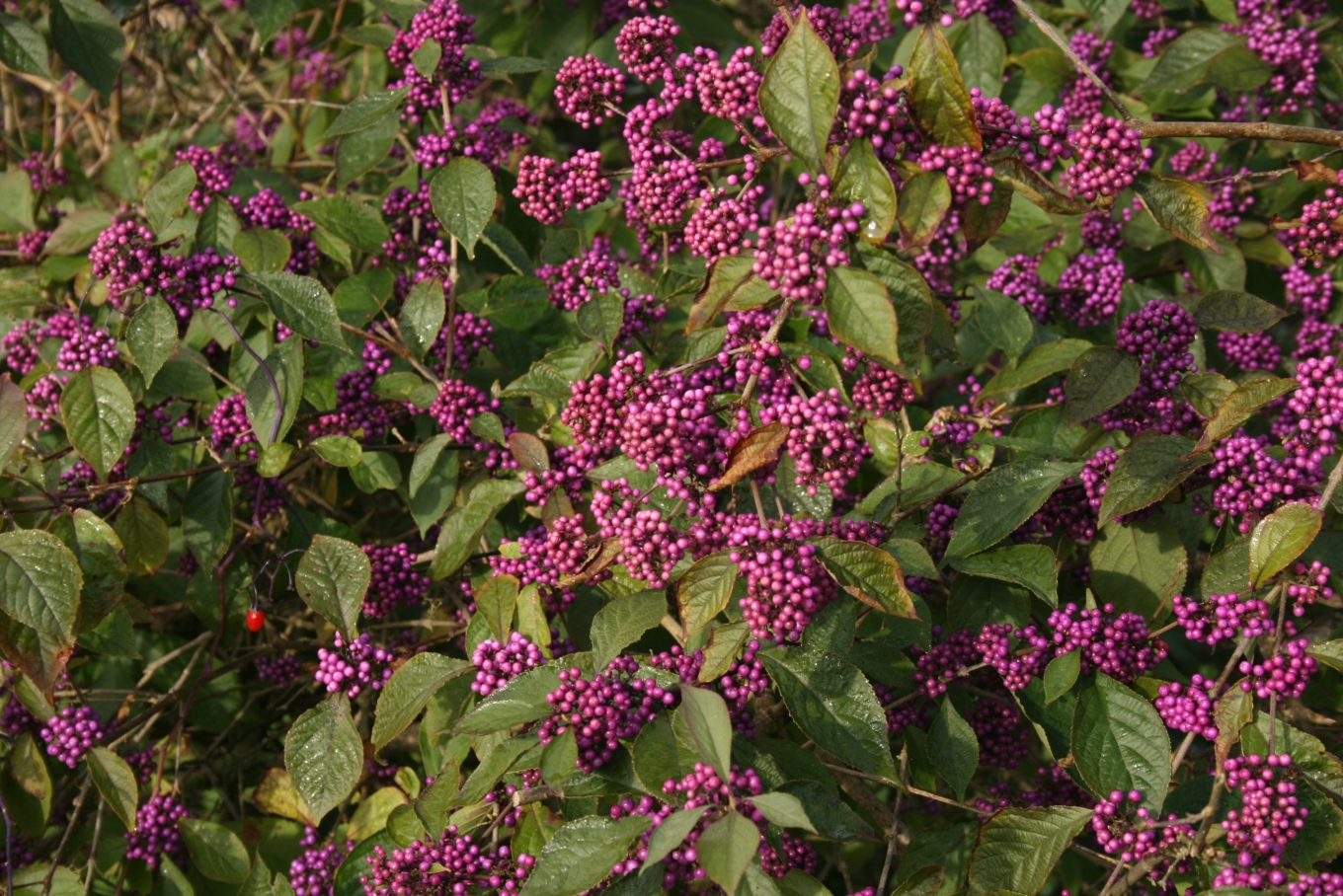 file callicarpa bodinieri foliage wikipedia. Black Bedroom Furniture Sets. Home Design Ideas