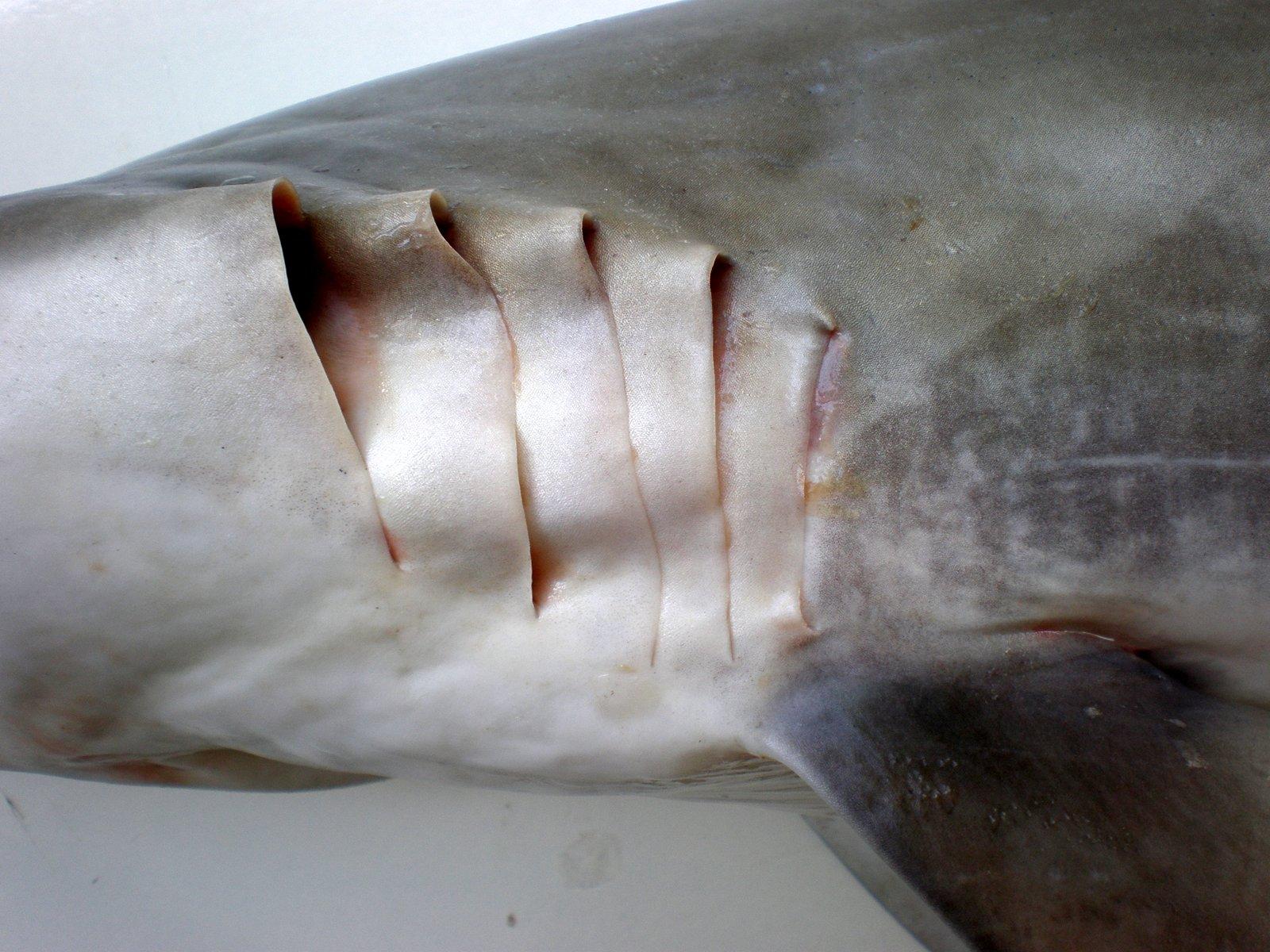 Megalodon vs Great White Shark Australias Super Predator