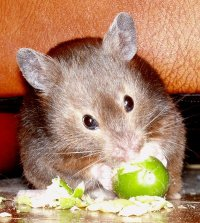 Cashew sable syrian hamster