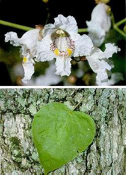 Catalpa speciosa flowers, leaf and bark