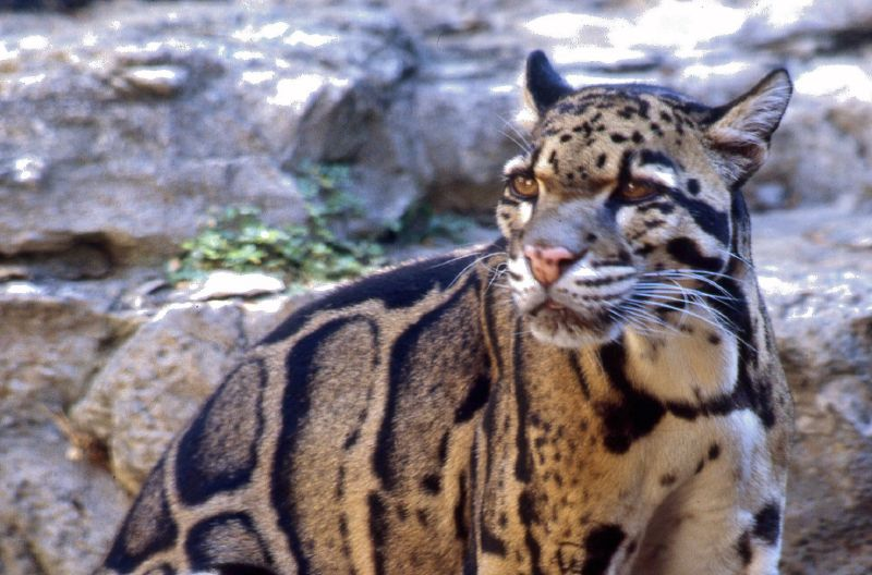 File:Clouded leopard.jpg