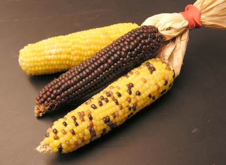 File:Corn 3different types.jpg