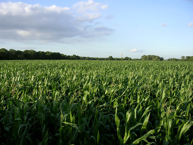 Corn crop west of Lepe Farm, Lepe - geograph.org.uk - 33293