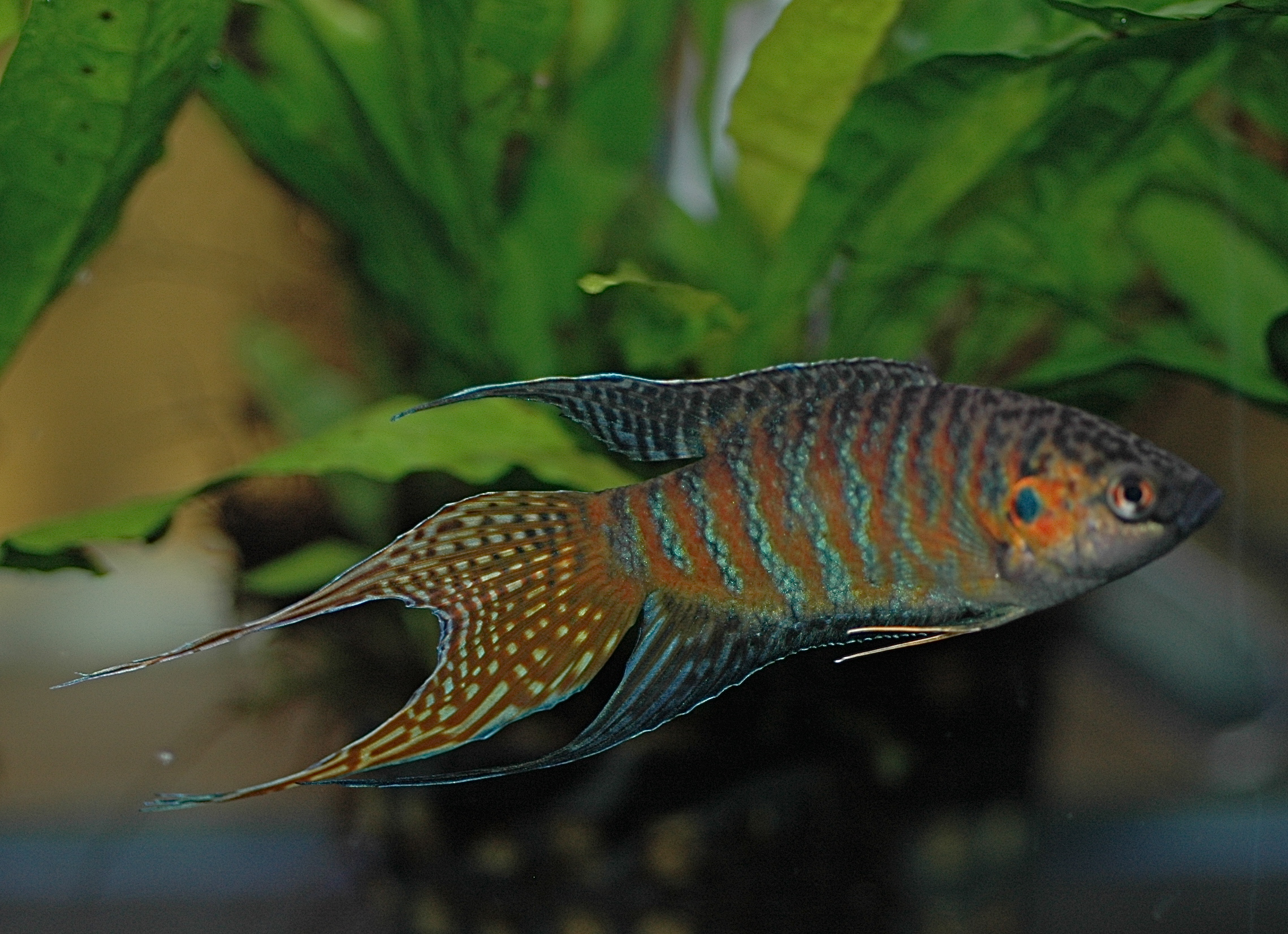 Http Commons Wikimedia Org Wiki File Dv Paradise Fish Male 02 Jpg