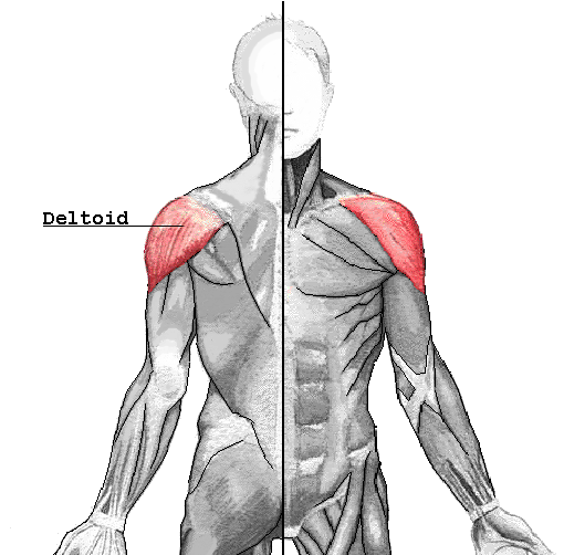 Deltoid muscle - Wikipedia