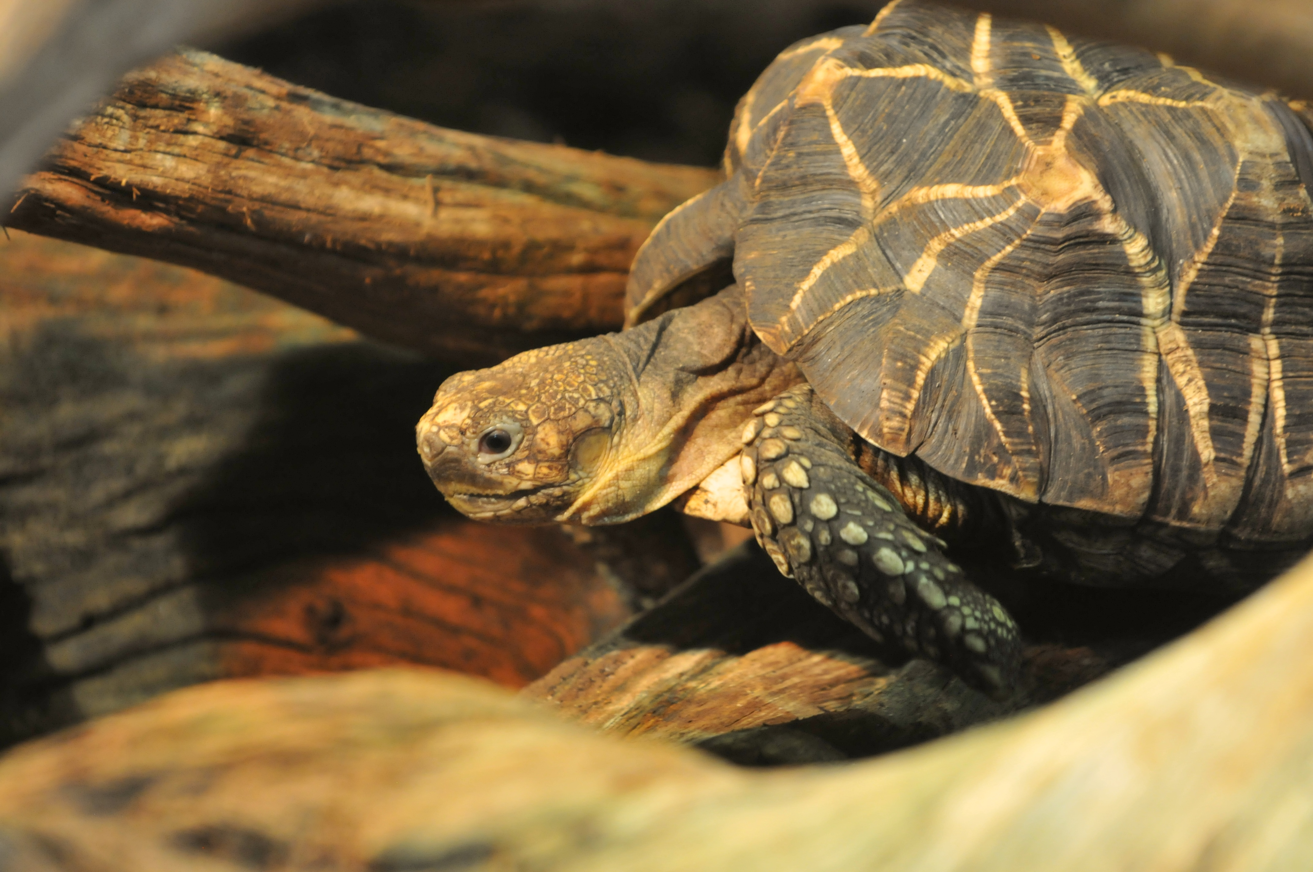 Sternschildkröte, Geochelone platynota