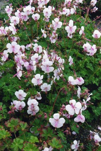 File:Geranium x cantabrigiense 'Biokovo' 2.jpg - Wikimedia ...
