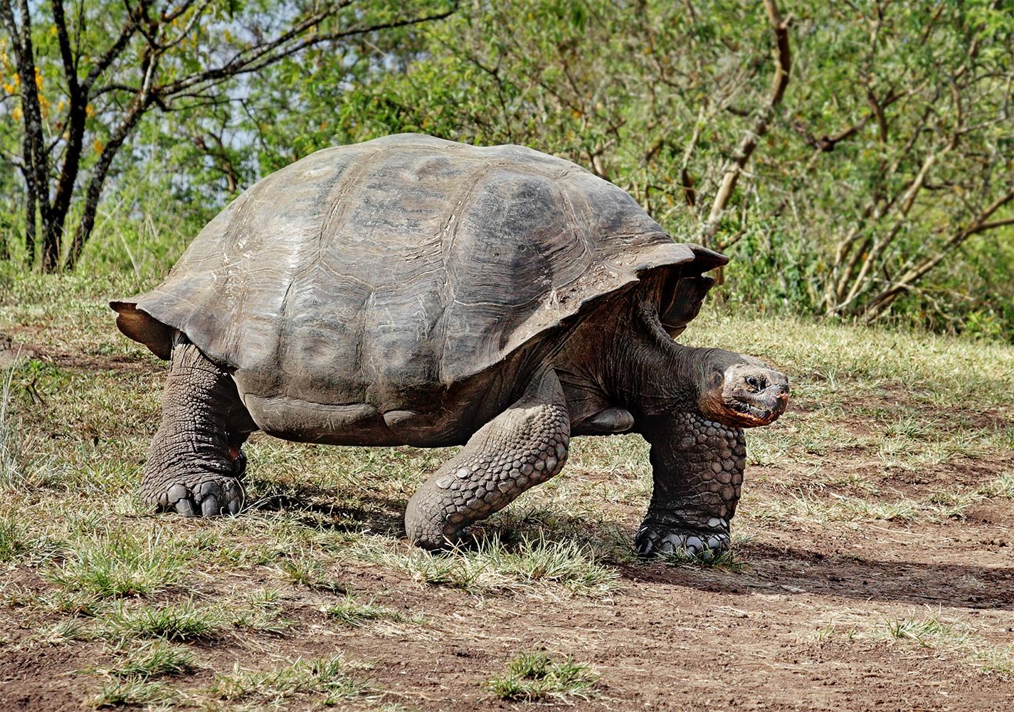 حيوانات عجيبة تصبر على الجوع لفترات خيالية Giant-Tortoise-Santa