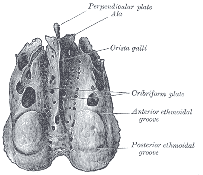 Cribriform Plate Wikipedia