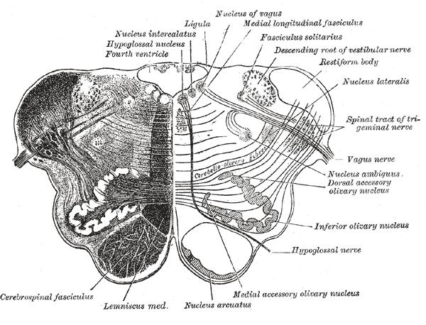 nucleus ambiguus