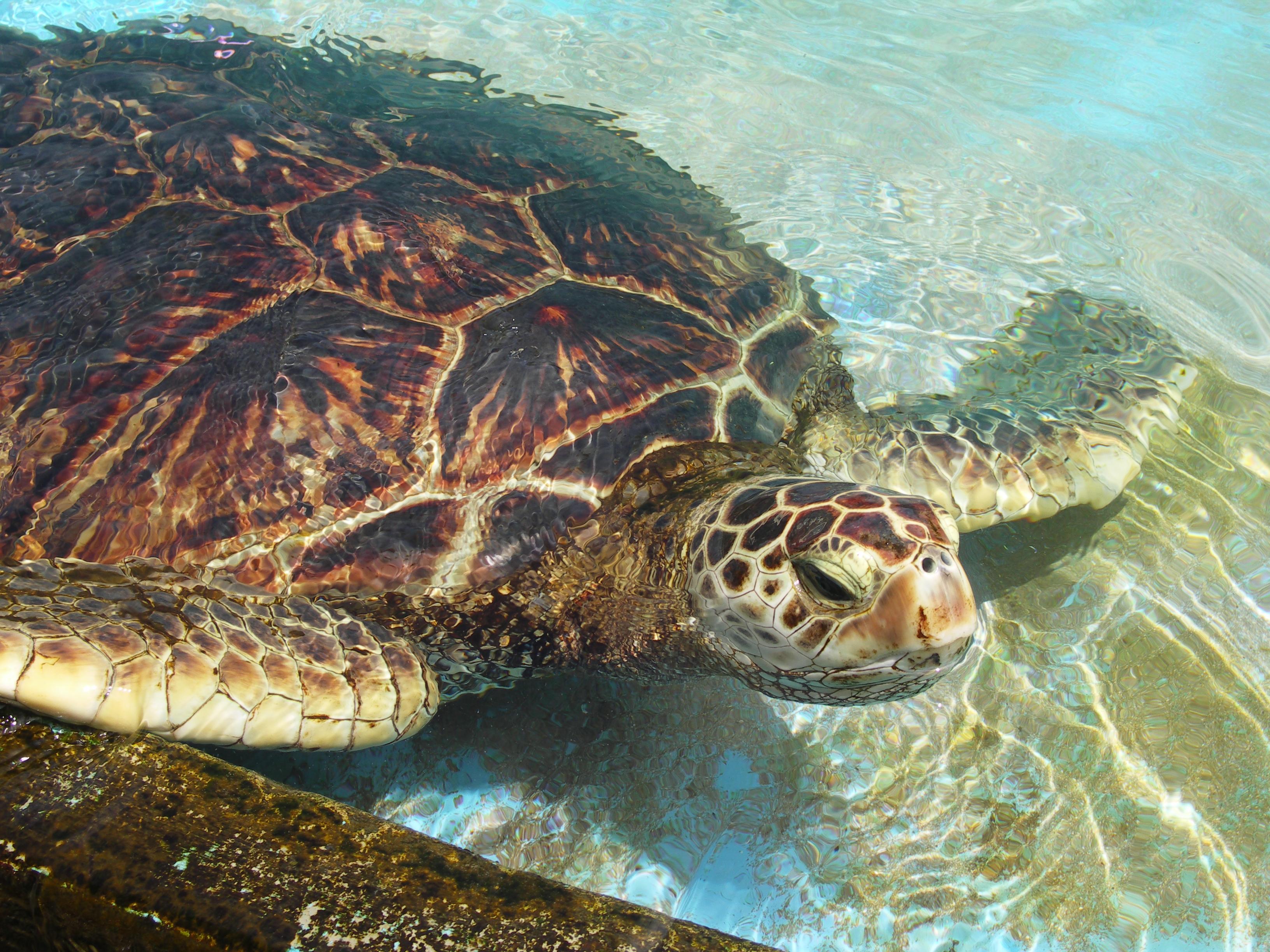 file hawaiian green sea turtle jpg wikimedia commons