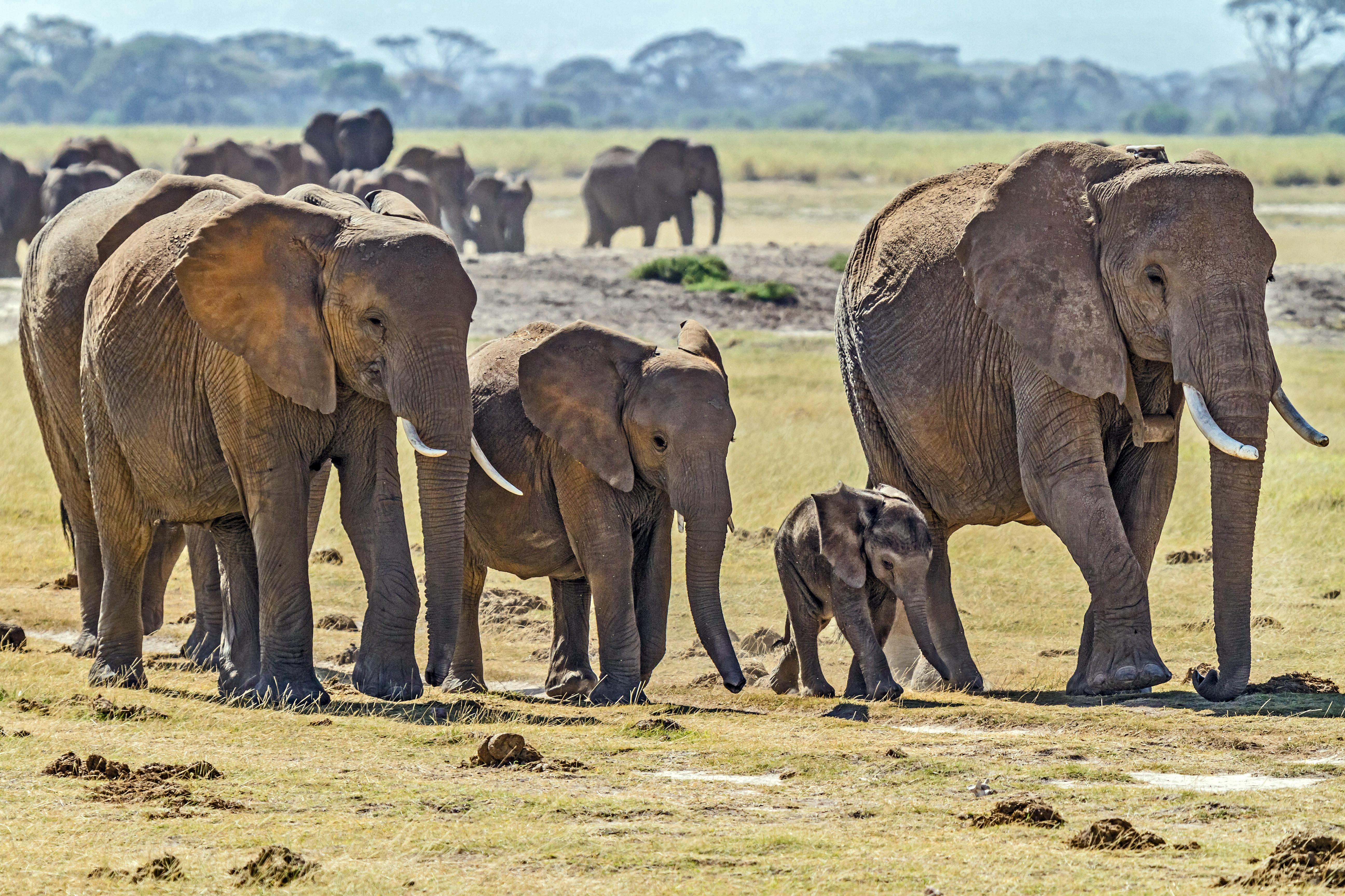 file herd of elephants jpg wikimedia commons