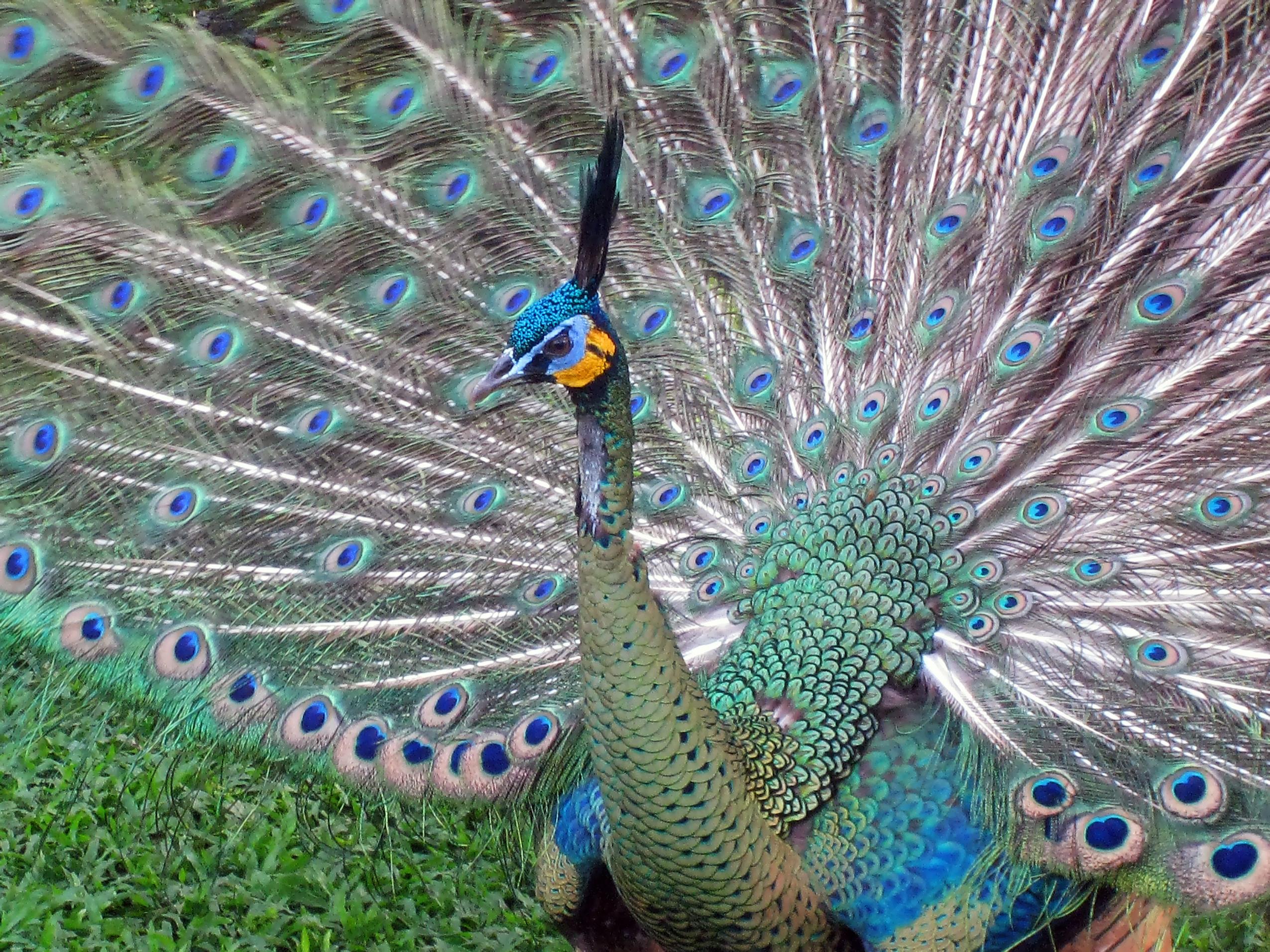 File:Javan Green Peafowl (Pavo muticus) in TMII Birdpark.jpg