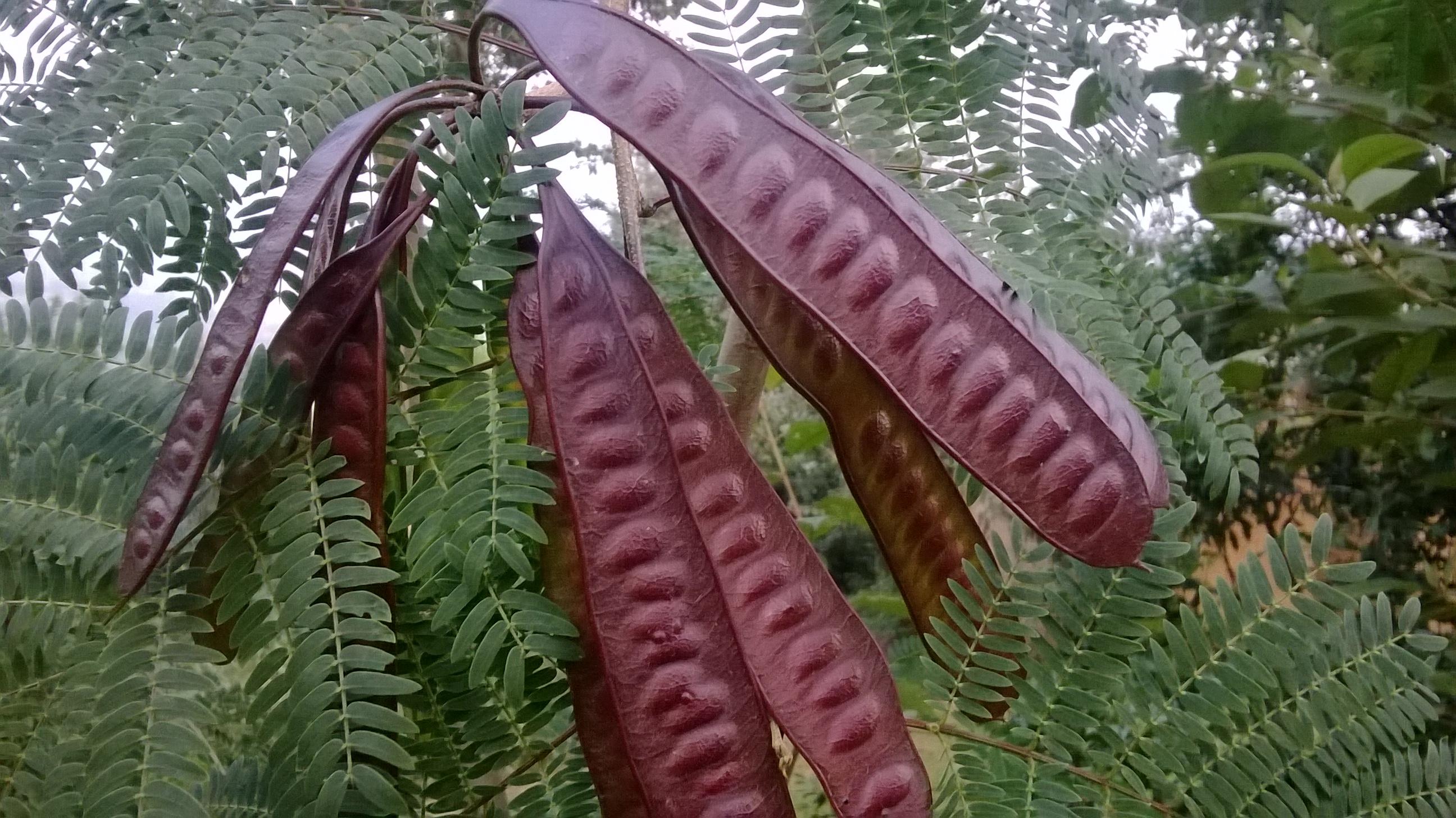 leucaena leucocephala as shoe polisher