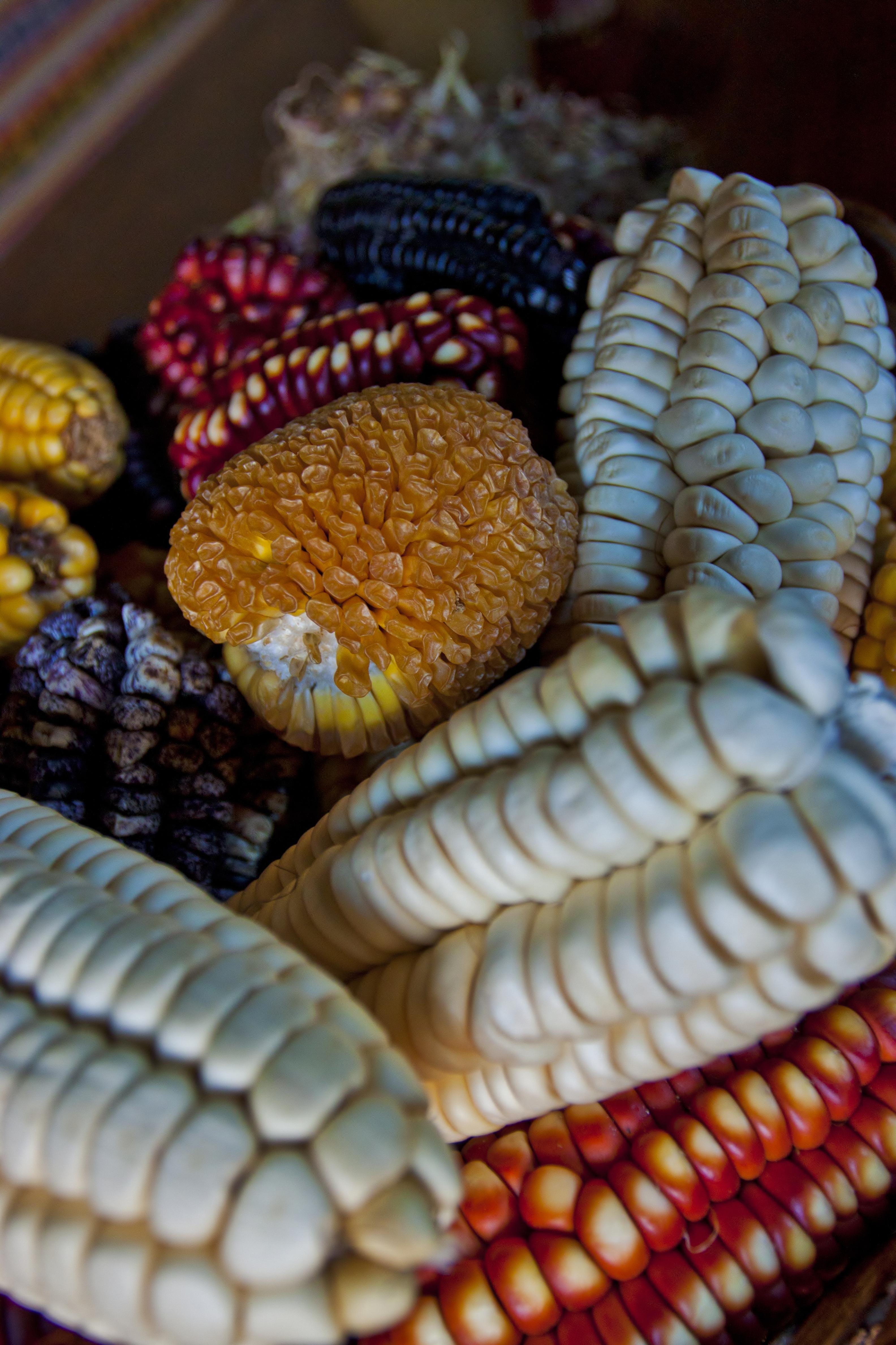 Maize Corn Cultivars.jpg