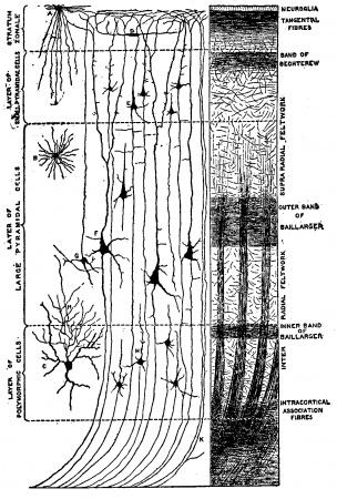 Brain structure. (a) The cerebral cortex includes the ... |Cerebral Cortex Structure