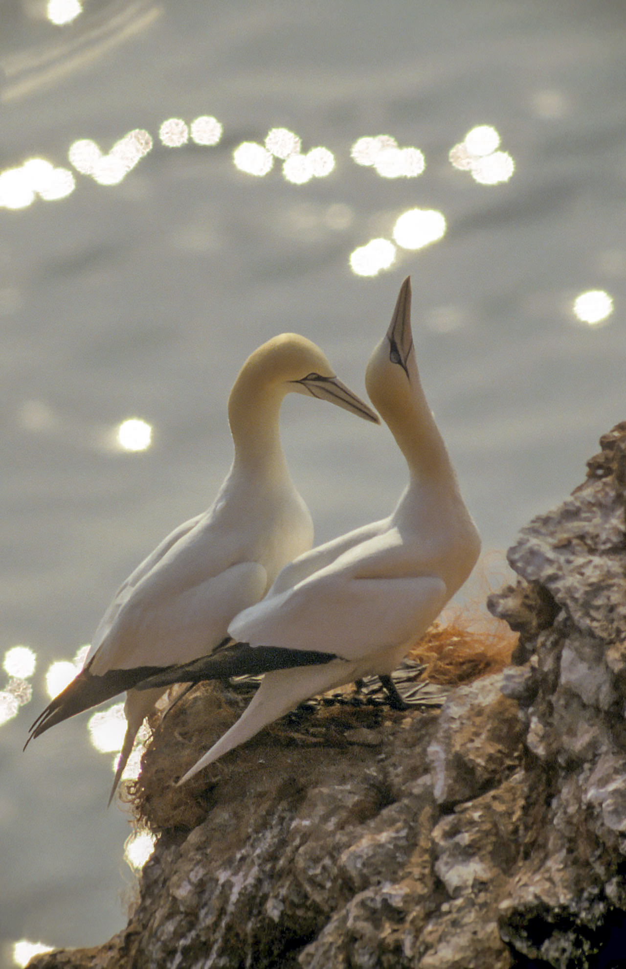 Gannet - Wikipedia