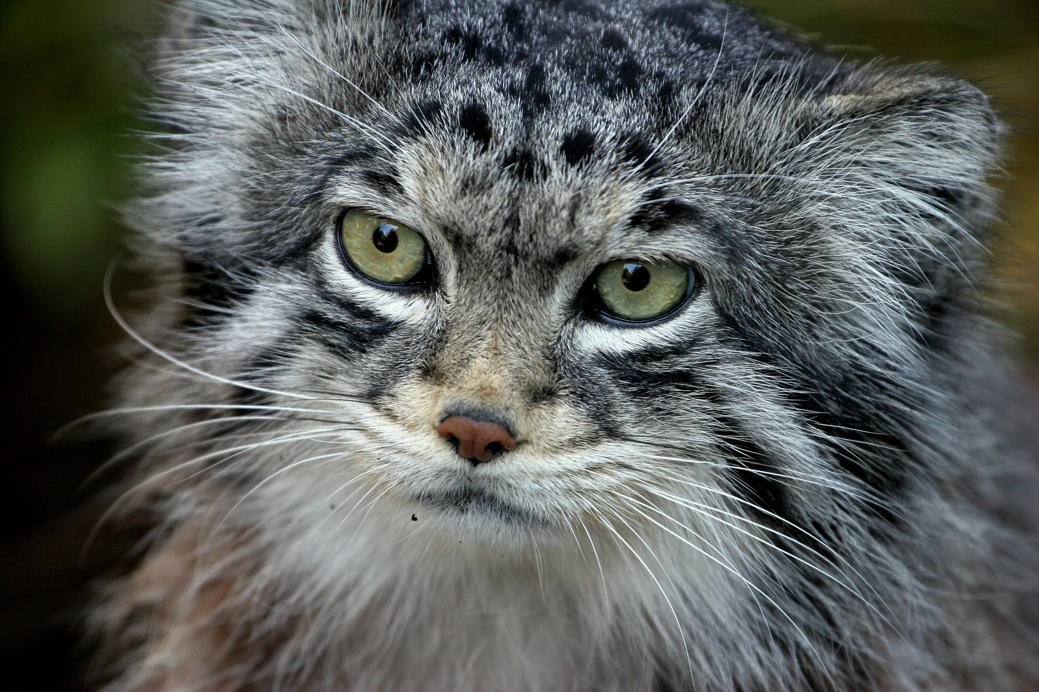http://upload.wikimedia.org/wikipedia/commons/9/93/Pallas_cat.JPG