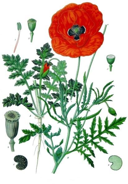 Résultat d'images pour fleur coquelicot
