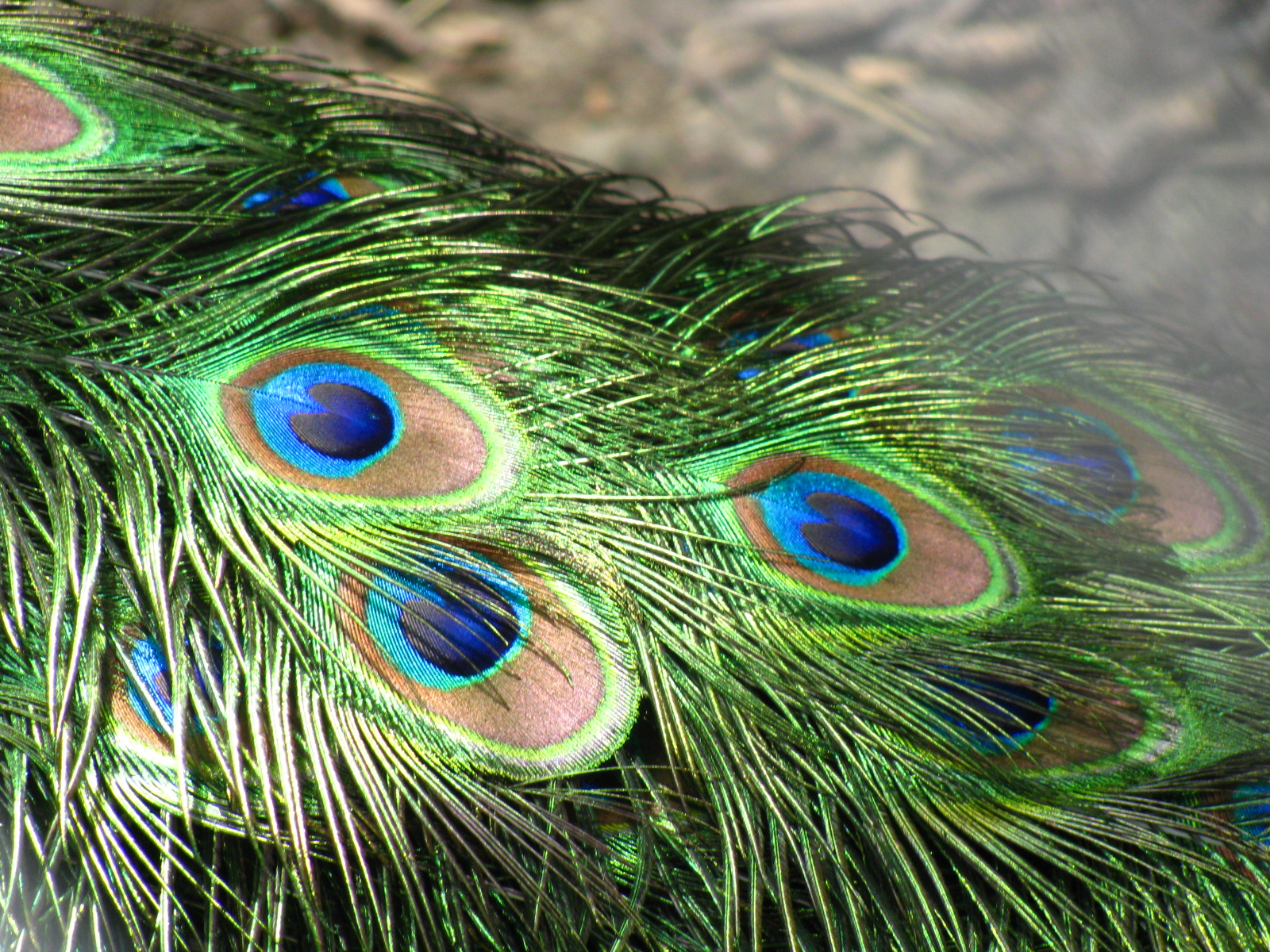 Photo Peacock Feather