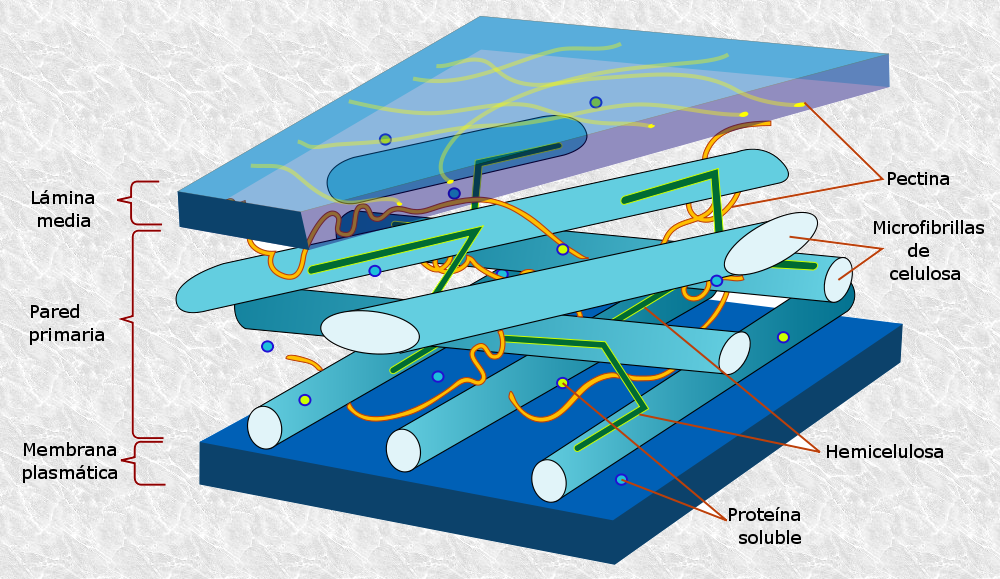 File:Plant cell wall diagram-es.png - Wikimedia Commons