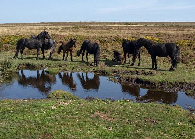 Ponies on Haytor Down - geograph.org.uk - 1497184