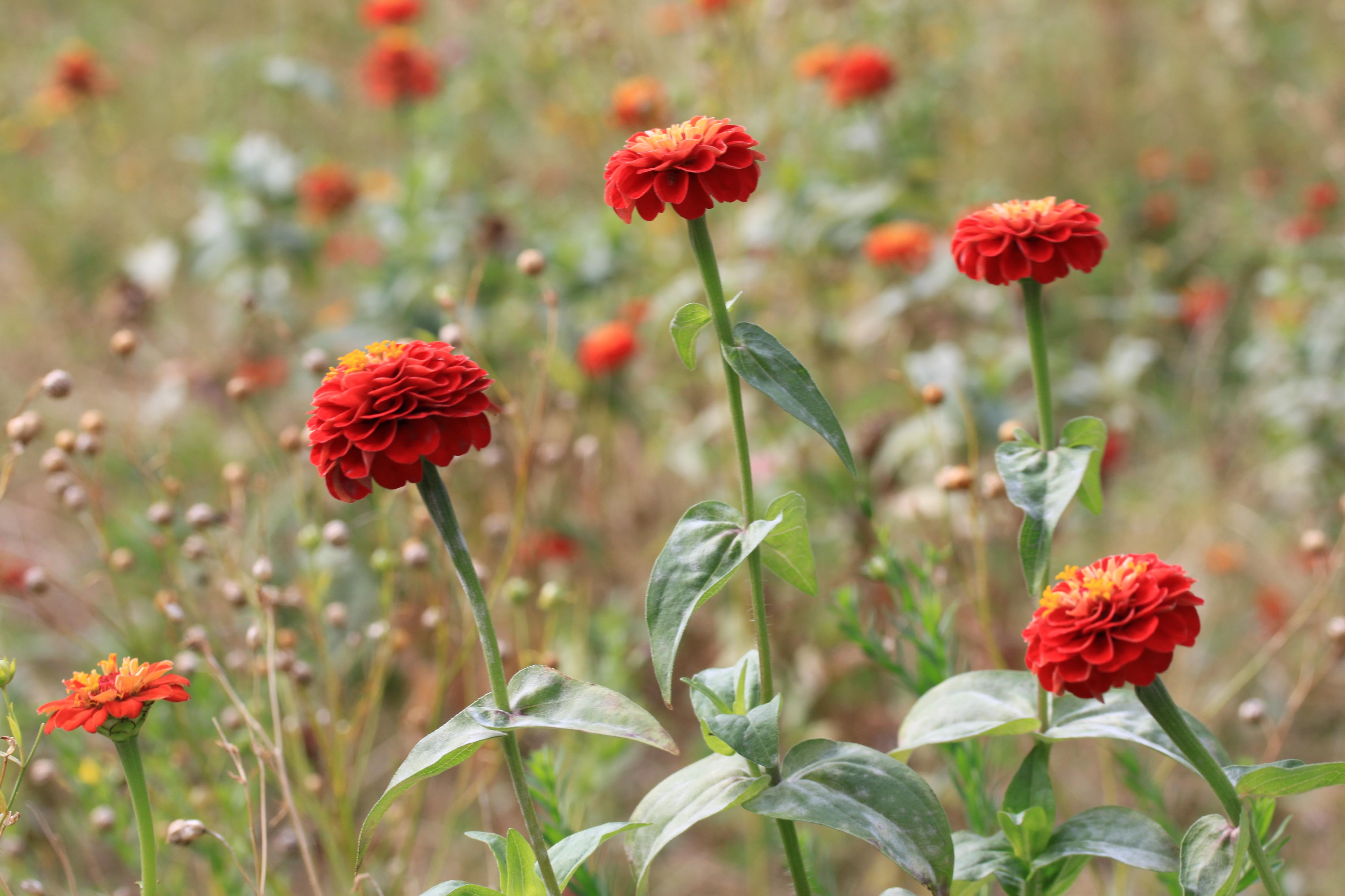 File prairie fleurs rouges jardin compans caffarelli jpg for Jardin de fleurs a couper