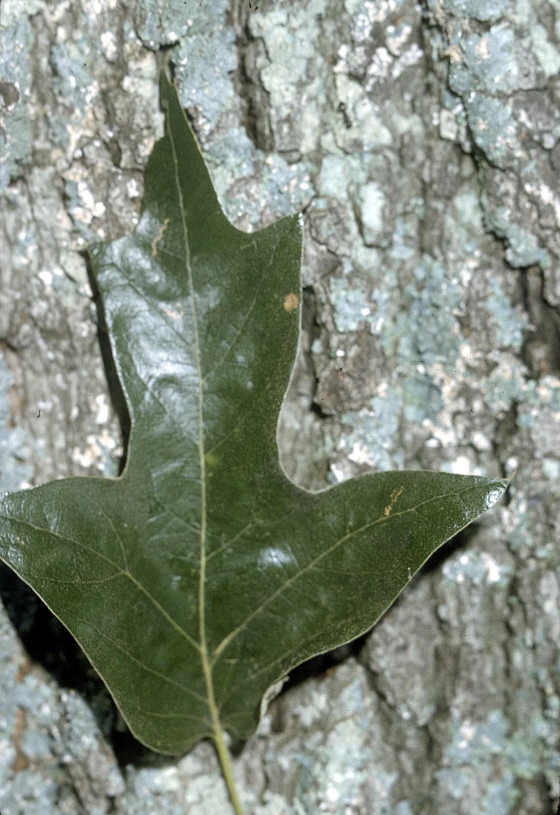 Quercus falcata wikipedia