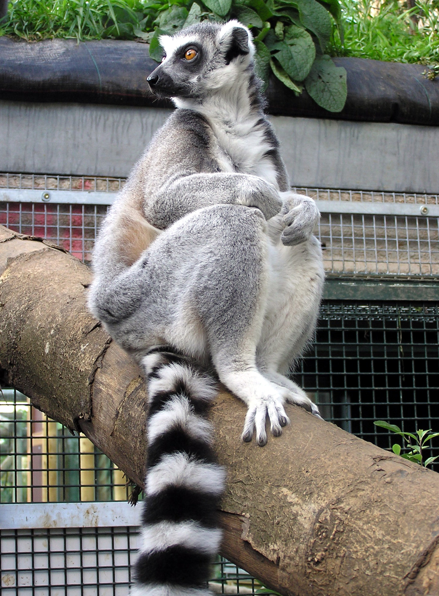 Описание ring tailed lemur situp arp