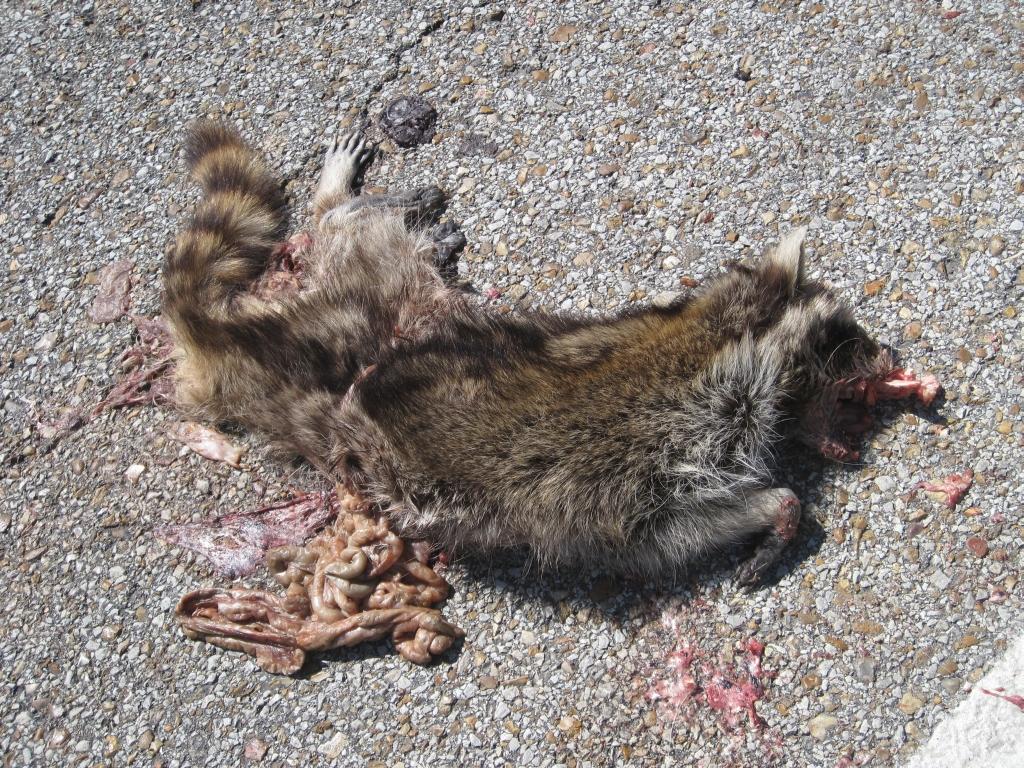 Cat Roadkill Pictures