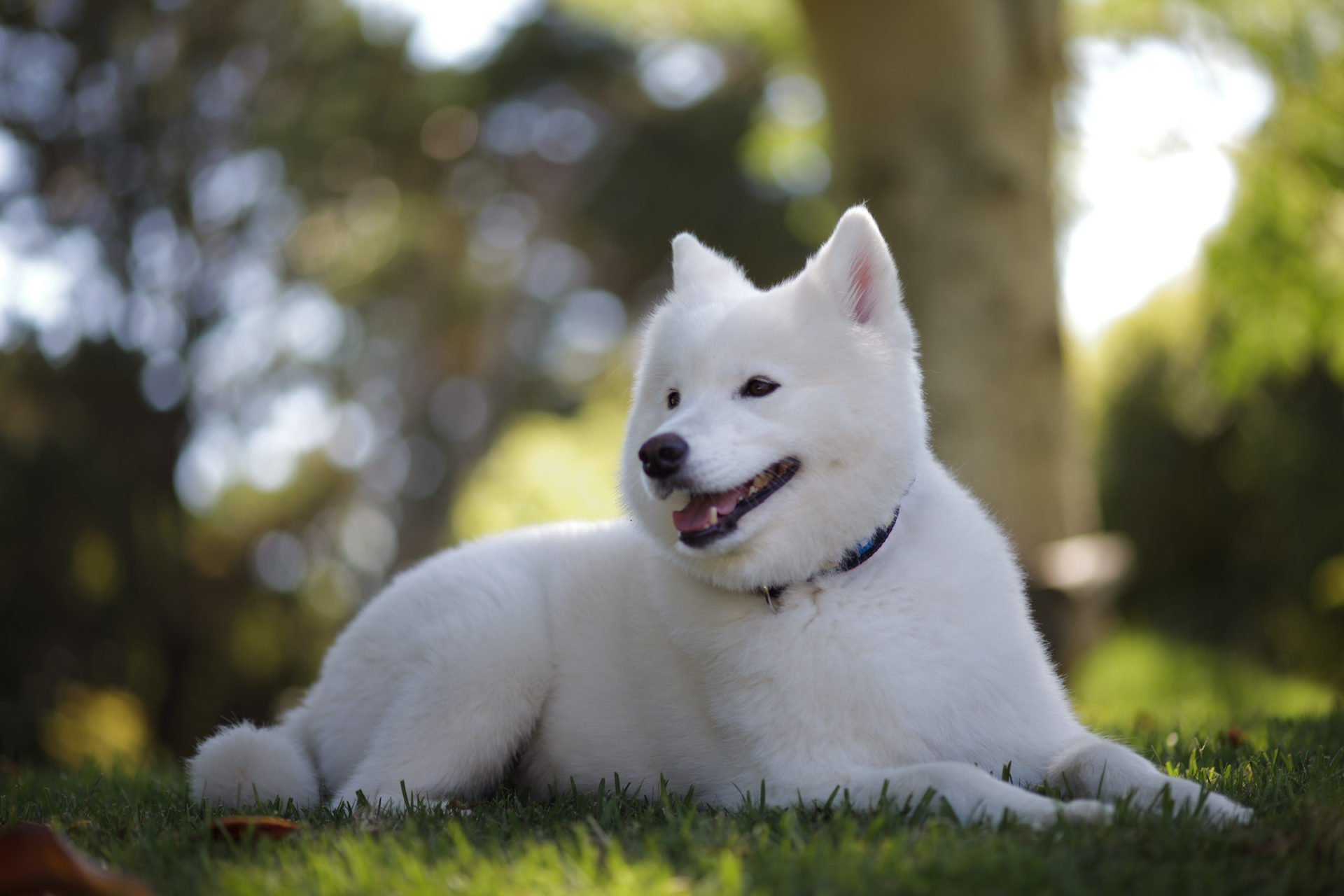 Samoyed Dogs For Sale Anada
