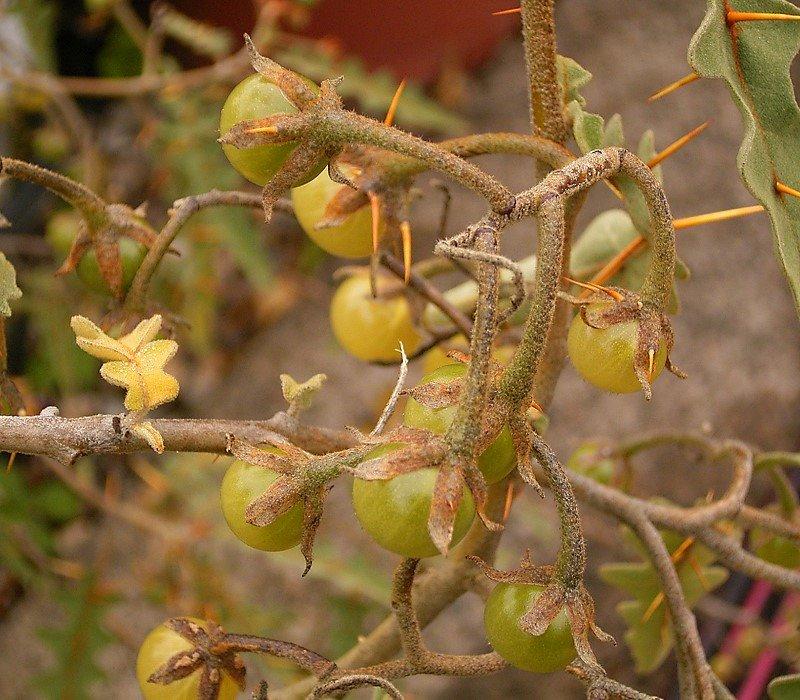 Tomat landak - Wikipedia bahasa Indonesia, ensiklopedia bebas