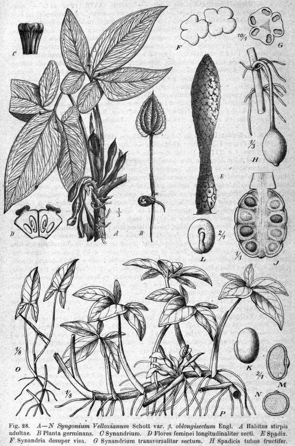Syngonium podophyllum DPR.png