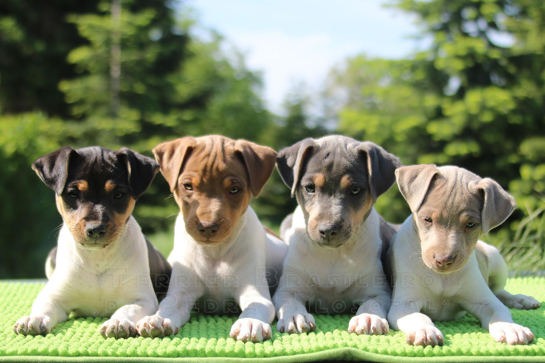 Are Border Terriers Hypoallergenic Dogs? | Hypoallergenic Dog | 1000x1500