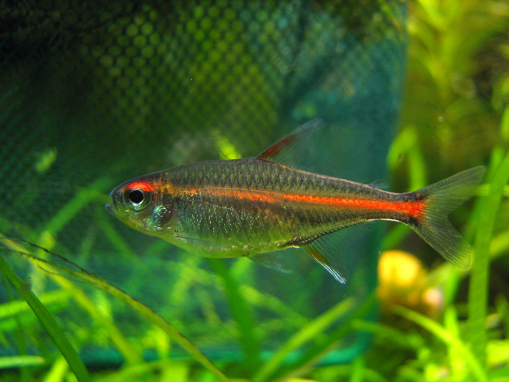 Aquaria glowlight tetras wikiversity for Tetra acquario