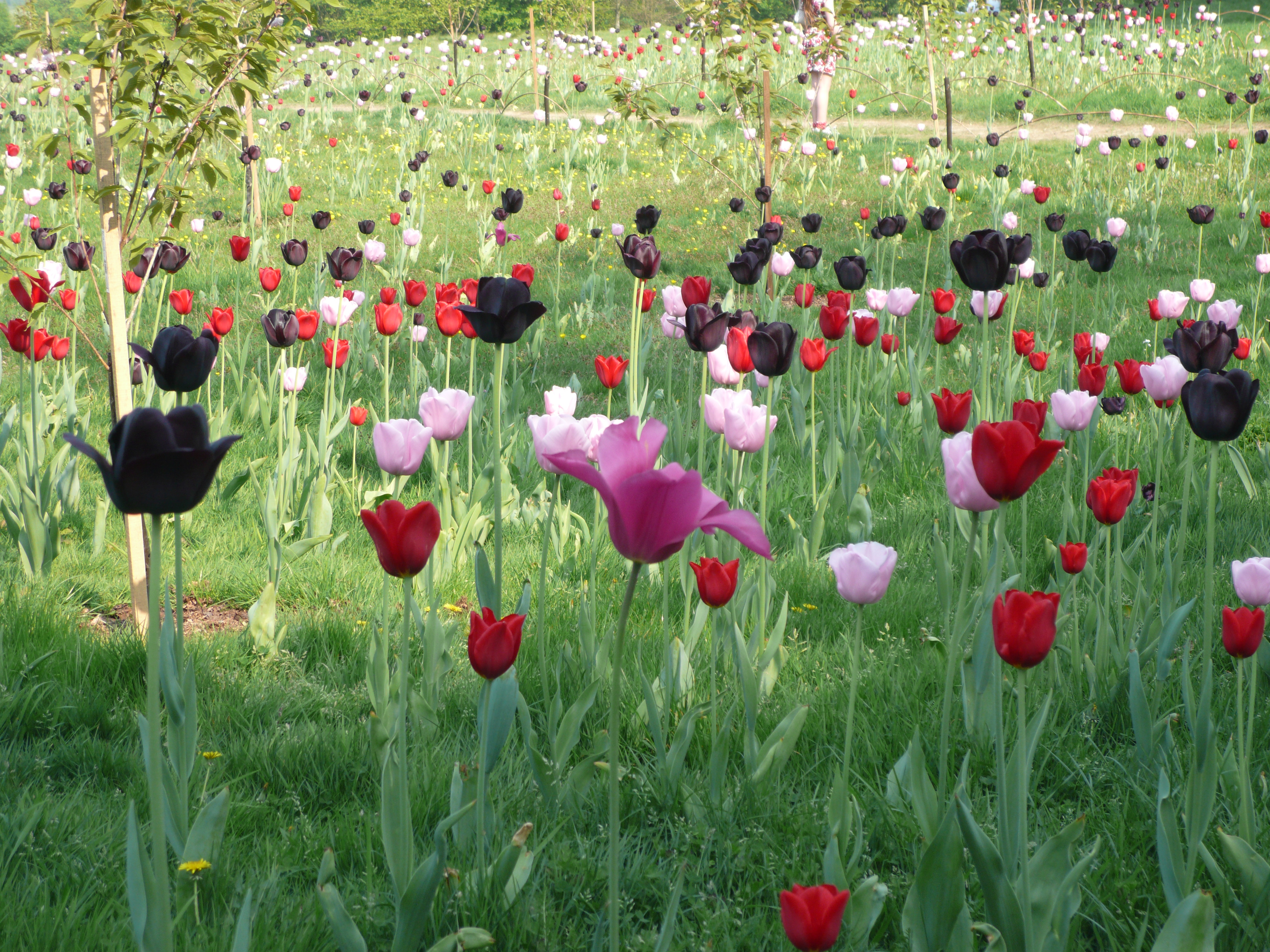 meaning of tulip flower  all about orchid and tulip flowers, Natural flower