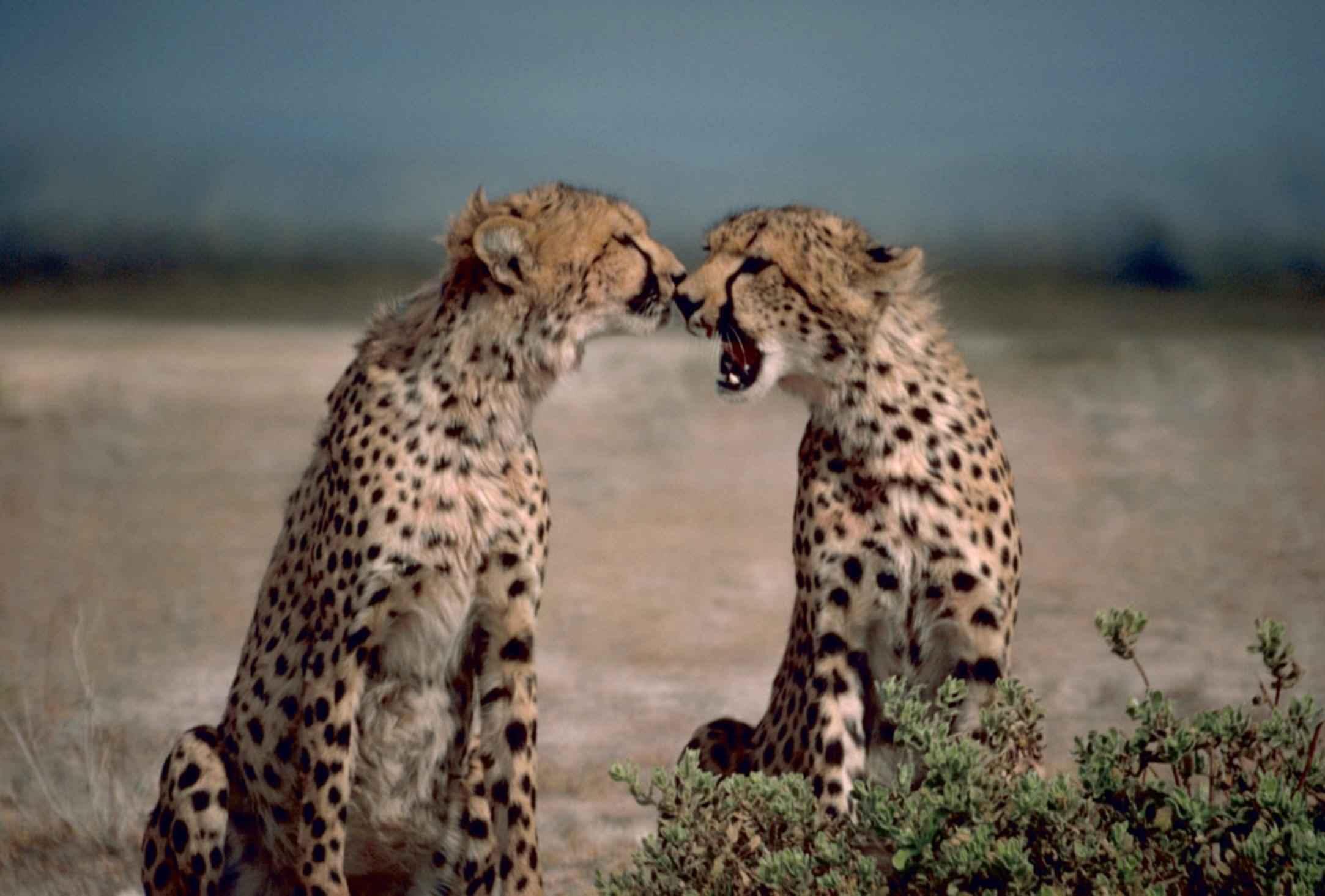 File:Two cheetahs African animals acinonyx jubatus facing ...